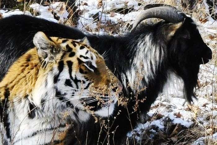 У Приморському сафарі-парку у козла Тимура зявилася своя «спальня» поряд з вольєром тигра Амура (4 фото)