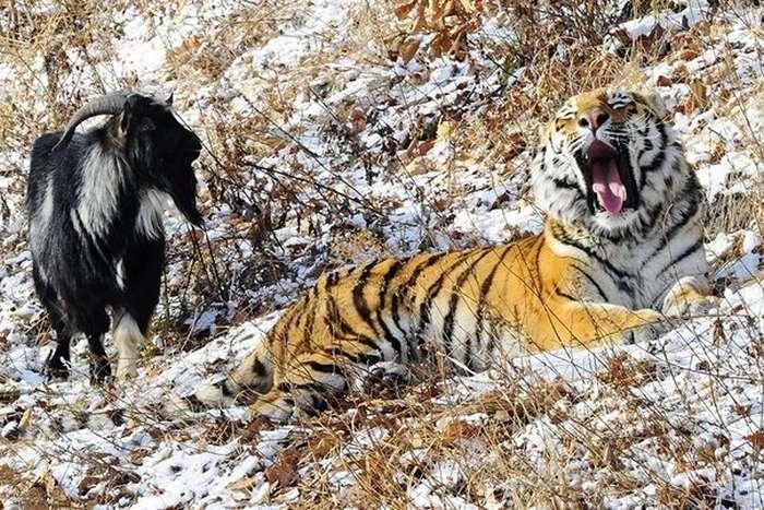 Тигр Амур незадоволений розселенням з козлом Тимуром (5 фото)