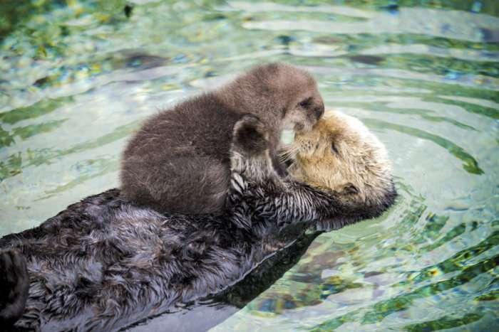 Новонароджене дитинча видри і його мати під час денного відпочинку (5 фото)