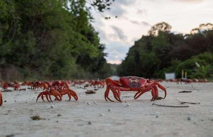 Міграція 120 мільйонів крабів на острові Різдва (11 фото)