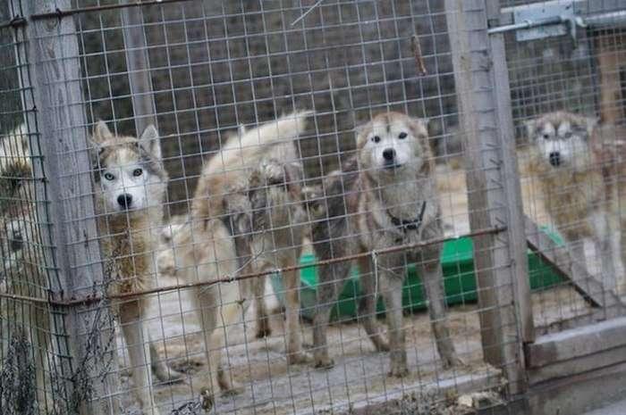 У Володимирській області зоозахисники врятували 20 хаскі з «пекельного розплідника» (13 фото)