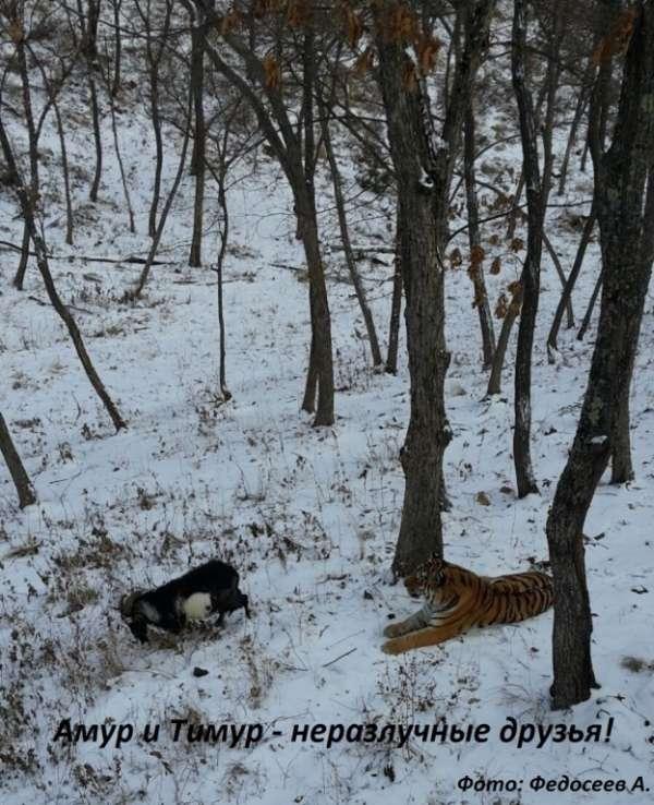 Тигр Амур став захищати свого друга - козла Тимура (6 фото + відео)