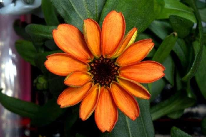 На борту МКС вперше розпустилася квітка айстри-цинії (2 фото)