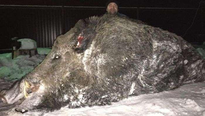 Челябінський мисливець застрелив величезного кабана вагою в півтонни (4 фото)