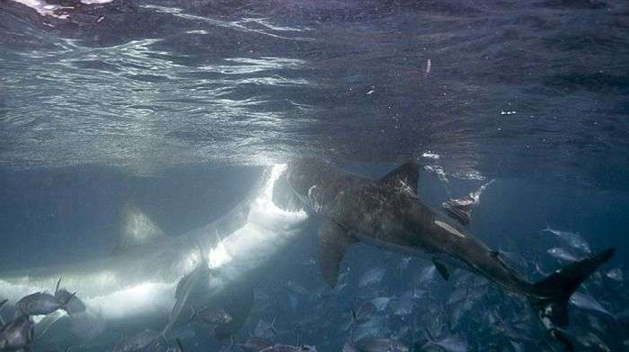 Велика біла акула провчила молоду акулу (4 фото)