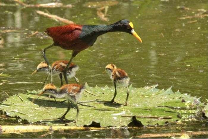 Забавна птах із сімейства якановых (4 фото)