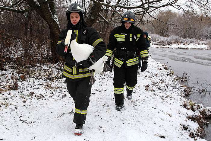 У Москві врятували пару лебедів, яка не змогла відлетіти в теплі краї (4 фото)