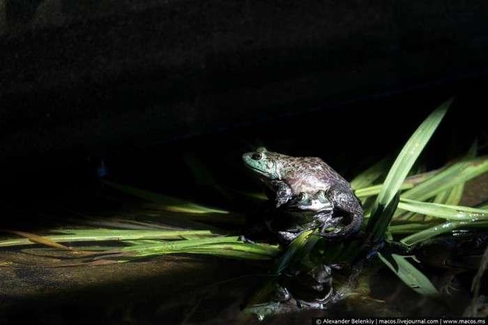 Як вирощують жаб на спеціальній фермі в Сінгапурі (15 фото)
