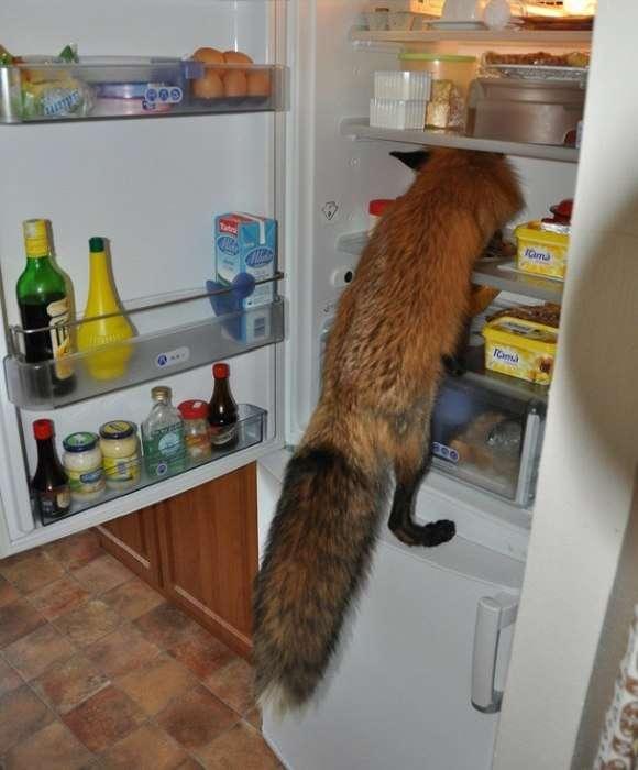 Історія порятунку одного лисенка (10 фото)