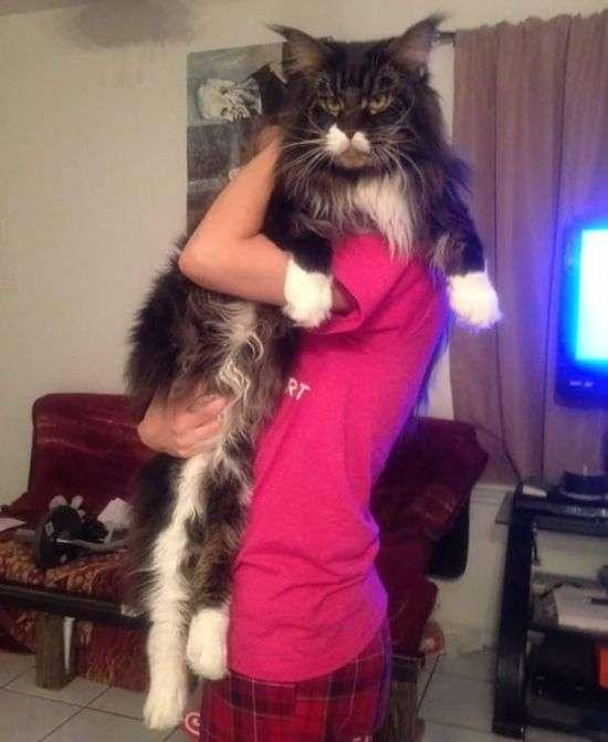 Мейн-кун - найбільші домашні кішки в світі (29 фото)