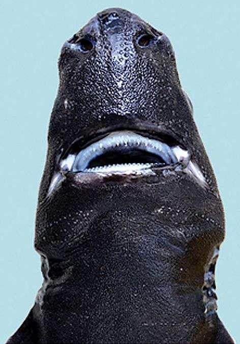 У Тихому океані знайшли акула-ніндзя (7 фото)