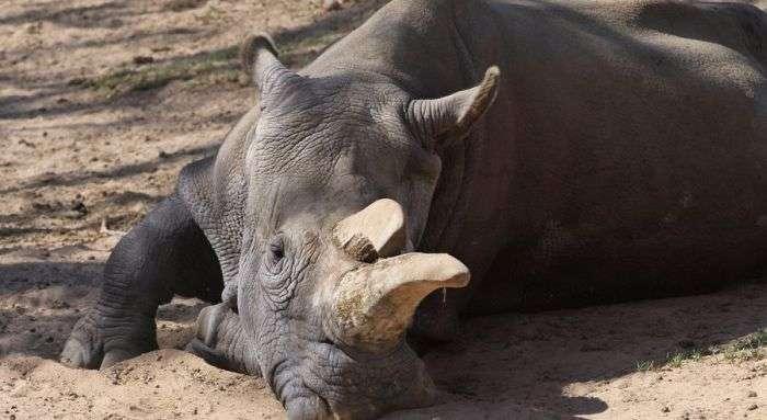 У США помер один з чотирьох залишалися на землі північних білих носорогів (5 фото)