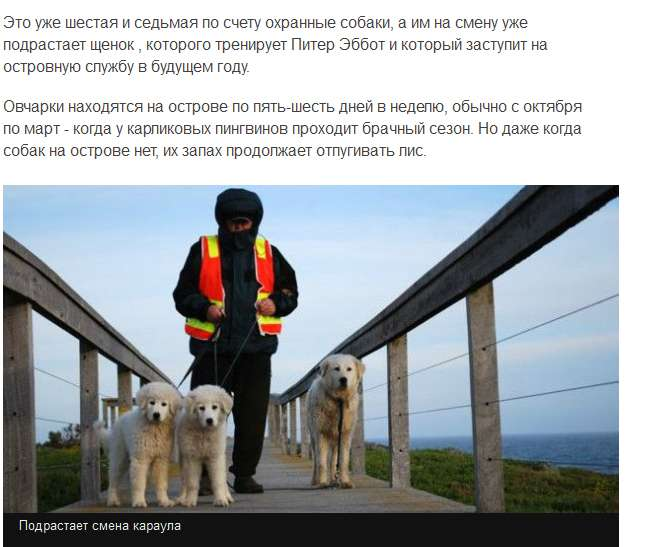 Собаки врятували карликових пінгвінів від лисиць (6 скріншотів)