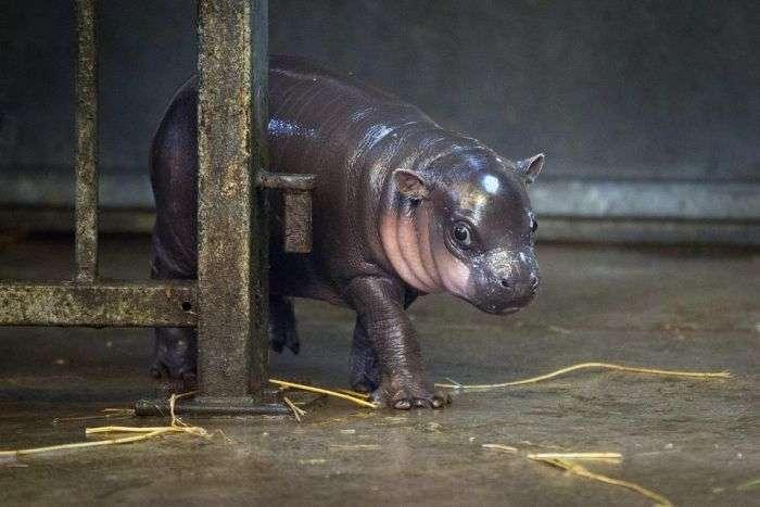 У зоопарку Брістоля показали 3-тижневого дитинча карликового бегемота (17 фото)