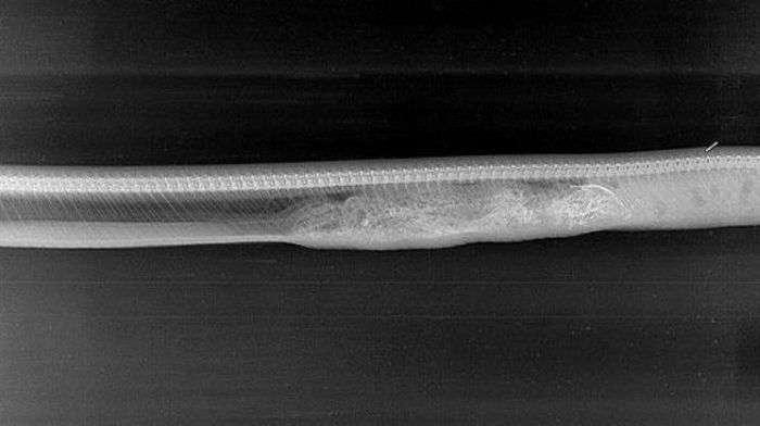 Як відбувається переварювання в шлунку крокодила пітона (6 фото)