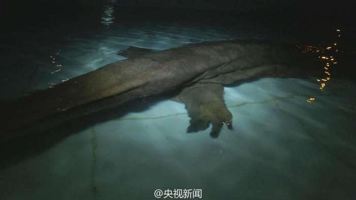 У Китаї знайдена рідкісна 200-річна гігантська саламандра (4 фото)