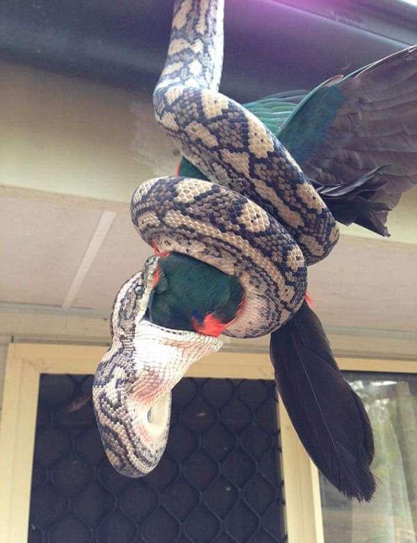 Звичайна справа в Австралії: пітон поїдає папуги (4 фото)
