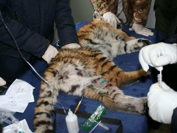 У Приморї виснажений тигреня вийшов до людей (4 фото)