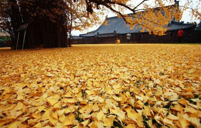 Море жовтих листя дерева гінкго у дворі буддійського храму в Китаї (5 фото)