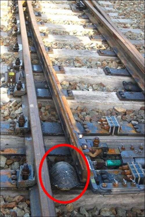 В Японії залізничні колії обладнали тунелями для черепах (3 фото)
