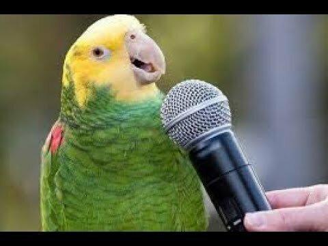 Почему попугай повторяет слова? Интересное