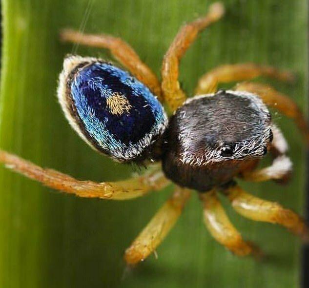 Арахнофобы, отвернитесь: обнаружены 5 новых видов пауков-скакунов Наука