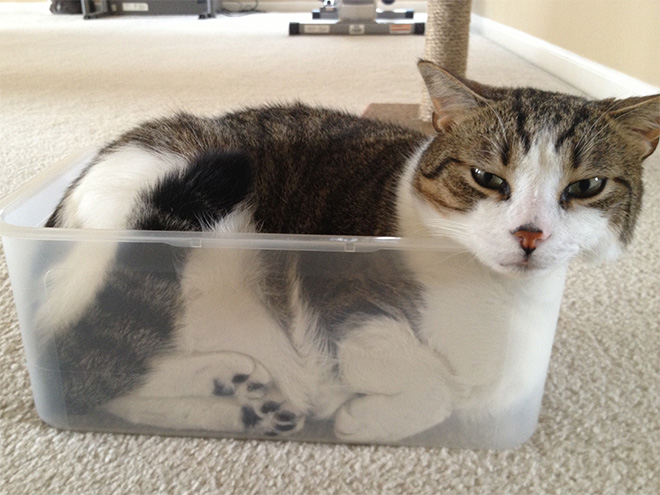Пожалуй, сяду здесь… 10+ смешных котов в стеклянной посуде Приколы,животные,коты,приколы,смешные коты