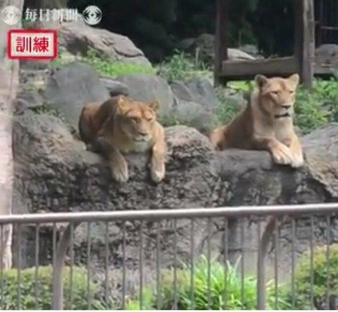 Побег плюшевого льва вызвал недоумение у обитателей японского зоопарка   Интересное