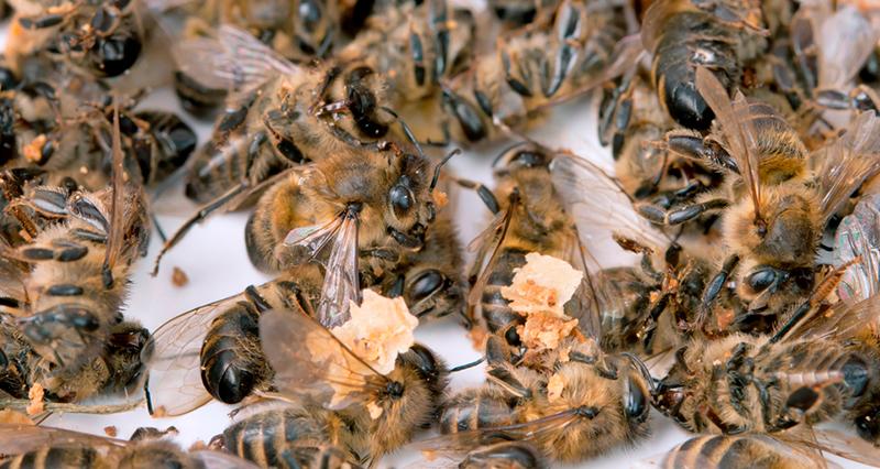 Путин, помоги: В России массово гибнут... пчёлы россия