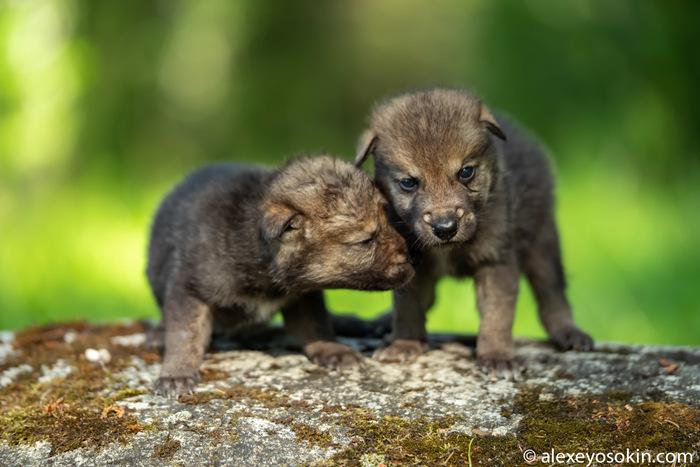 А вы видели новорожденных волчат?