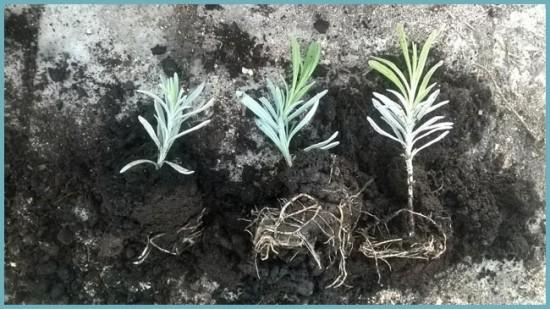 ЛАВАНДА В САДУ: ВЫРАЩИВАНИЕ И УХОД В ОТКРЫТОМ ГРУНТЕ инструмент,ландшафтный дизайн,огород,полезные советы,растения,сад